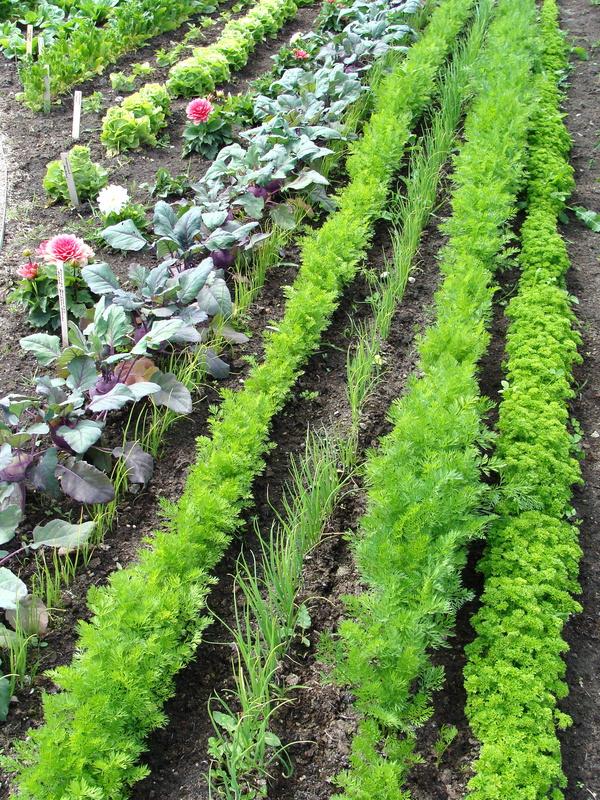 Gemüsebeet eines Community Garten