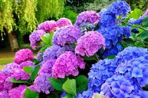Rosafarbene und violette Blüten der Hortensie