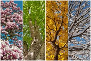 Ansicht der Baumkrone in den vier Jahreszeiten