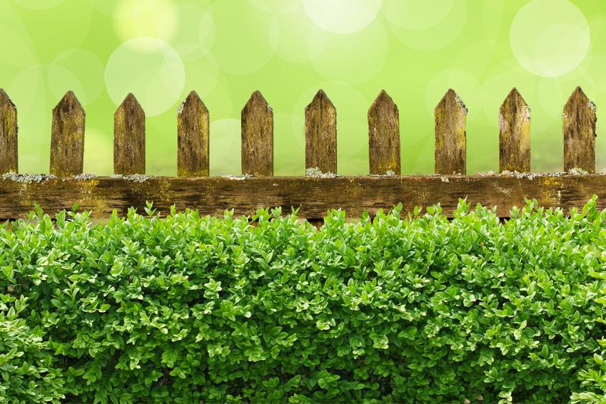 Alter Gartenzaun mit Buchsbaumhecke und Bokehhintergrund