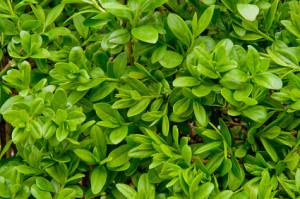 Die Ligusterhecke - eine sehr vielseitige Heckenpflanze