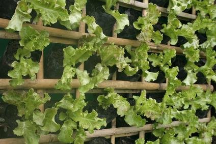 Hängender Garten mit frischem Salat