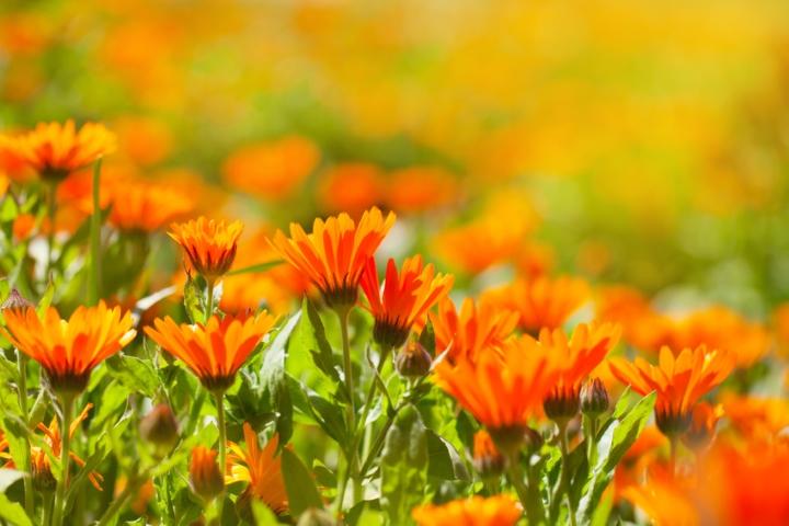 Blütenmeer voller Ringelblumen im Sommer