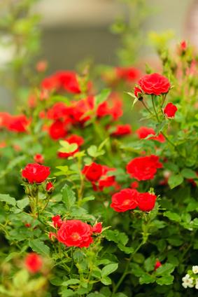 Ein Busch mit Rosen