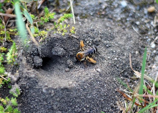 Wildbiene am Erdloch