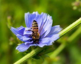 wagwarte- bienenfreundliche staude