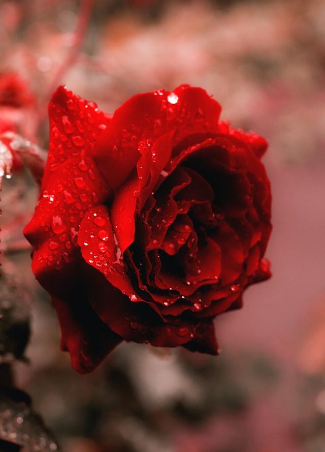 Die romantischste Pflanze für Ihren Garten